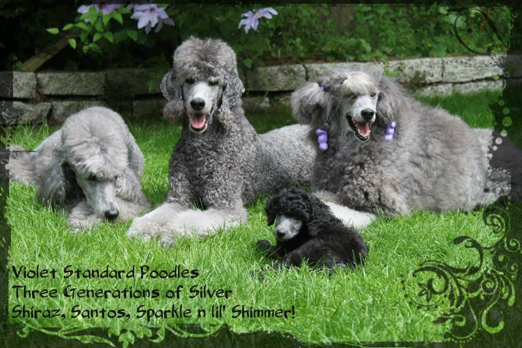 Violet Standard Poodles Happiness Is Standards Structure